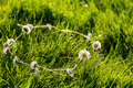 Daisy Chain Royalty Free Stock Photo