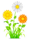 Daisy chamomile flowers with color petals grass and leaves Royalty Free Stock Photos