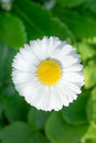 Daisy close up white closeup on green leaves background Royalty Free Stock Photos