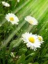Daisy closeup macro detail of in garden green grass in summer time Stock Photo