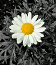 Daisy Colour Pop Stock Images