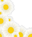 Daisy corner design with copy space Royalty Free Stock Photography
