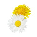 daisy and dandelion flower isolated on white Royalty Free Stock Photo