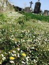 Daisy And Dandelions In Old Graveyard