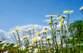 Daisy field with a blue sky Royalty Free Stock Photo