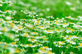 Daisy field chamomile of spring Royalty Free Stock Photography