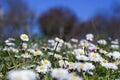 Daisy Field Royalty Free Stock Photo