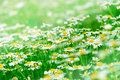 Daisy field spring Royalty Free Stock Photo
