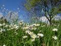 Daisy field in the sunny summer day Royalty Free Stock Photo