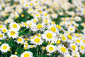 Daisy flower bed field of flowers as background Stock Photography