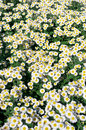 Daisy flower bed field of flowers as background Royalty Free Stock Image