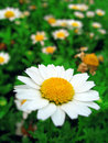 Daisy flower in bloom Stock Photos