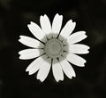 Daisy flower closeup isolated on black Royalty Free Stock Image