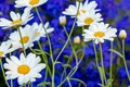 Daisy flower daisies flowers white on blue background Royalty Free Stock Photo