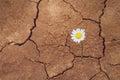 Daisy flower in the desert Royalty Free Stock Photo