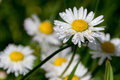 Daisy flower with drops cose up water in background blurred other daisies Royalty Free Stock Images