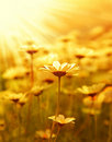 Daisy flower field over sunset Royalty Free Stock Photo