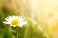 Daisy flower field with shallow focus Royalty Free Stock Photo
