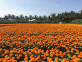 Daisy flower fields in Cho Lach village, Ben Tre, Vietnam Royalty Free Stock Photo