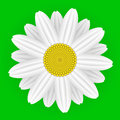 Daisy flower on green background Royalty Free Stock Photography