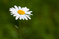 Daisy flower on the green blurred background Royalty Free Stock Photo