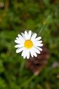 Daisy flower on the green blurred background top view Royalty Free Stock Photo