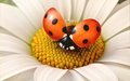 Daisy flower with a ladybird Stock Photography