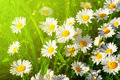 Daisy flower on meadow Royalty Free Stock Photo