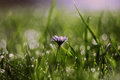 Daisy flower in morning dew Royalty Free Stock Photo