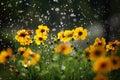 Daisy flower with rain drops Royalty Free Stock Photo