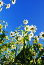 Daisy flower in summer with blue sky Royalty Free Stock Photo
