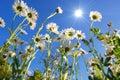 Daisy flower under blue sky Royalty Free Stock Photo