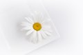 Daisy flower on white. Royalty Free Stock Photo