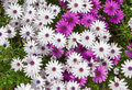 Daisy flower white and purple and grass Royalty Free Stock Photos