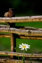 Daisy flower by wicker fence a beautiful white growing a Stock Photography