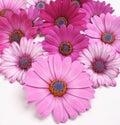 Sedmikráska květiny