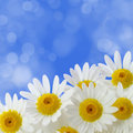 Daisy flowers Royalty Free Stock Photos