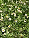 Daisy flowers as a background Royalty Free Stock Photo