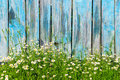 Daisy flowers on a background of wooden fence Royalty Free Stock Photo