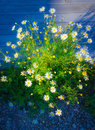 Daisy flowers beautiful in the evening sunlight Royalty Free Stock Images