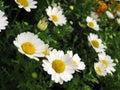 Sedmokráska kvety v čase kvitnutia