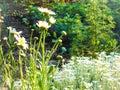 Daisy flowers border Royalty Free Stock Photo