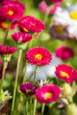 Daisy flowers close up of a red bellis perennis english Stock Image