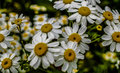 Daisy Flowers in a field Bedfordshire Macro lens Royalty Free Stock Photo