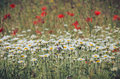 Daisy flowers floral background chamomile and poppies meadow in summertime closeup in soft focus blooming wild on meadow Stock Photos