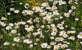 Daisy Flowers Meadow Royalty Free Stock Photo