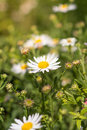 Daisy flowers meadow, field of daisies Royalty Free Stock Photo
