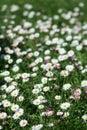 Daisy Flowers op het gebied Royalty-vrije Stock Afbeeldingen