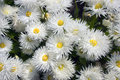 Daisy flowers shasta leucanthemum superbum Stock Photos