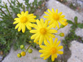 Daisy flowers,Sidewalks, ornamental flowers, natural colored flowers, city ornamental flowers, flowers between stones, Royalty Free Stock Photo